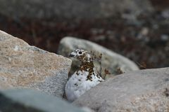 Basculez le Lagopus Muta de lagopède alpin se cachant parmi des roches montrant le début de couleurs d'été Photo stock