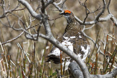 Basculez le mâle de lagopède alpin s'asseyant sur la branche d'un saule dans la tonne photographie stock