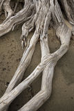 Base of a bleached driftwood stump with crossed roots, Flagstaff Stock Photo