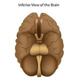 Base of the brain Royalty Free Stock Image