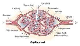 Base capillare contrassegnata illustrazione di stock