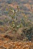 Base de camélia oleifera Photo libre de droits