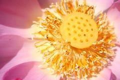 Base de Lotus Fotos de archivo