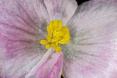 Base de poca base rosada y blanca de la flor de la begonia del cierre para arriba - de poca foto macra rosada y blanca de la flor Fotografía de archivo libre de regalías