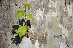 Base de un árbol del sicómoro a lo largo de una trayectoria que camina en el corazón del bosque de Laguna, California Foto de archivo
