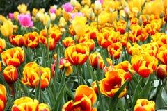 Base dei tulipani coltivati gialli Immagini Stock Libere da Diritti