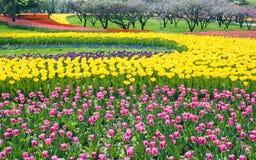 Base dei tulipani multicolori Immagine Stock Libera da Diritti