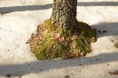Base del árbol en nieve de la primavera Imagen de archivo