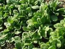 Base della verdura degli spinaci Fotografia Stock