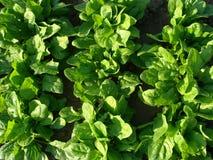 Base della verdura degli spinaci Immagini Stock Libere da Diritti