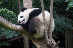 Base di ricerca di Chengdu del gigante Panda Breeding Immagini Stock Libere da Diritti