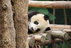 Base di ricerca di Chengdu del gigante Panda Breeding Immagine Stock Libera da Diritti