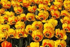 Base di tulipano con i fiori gialli Fotografia Stock