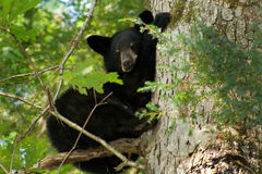 Base! Im safe!. Baby bear cub hides in tree and looks down at me Royalty Free Stock Photos
