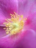 Base macra de la flor del escaramujo de la foto foto de archivo