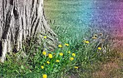 Base of an old tree surrounded by Dandelions in early spring. Abstract rainbow colors added royalty free stock image
