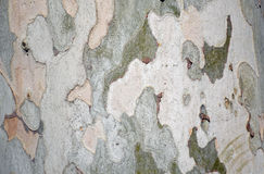 Base of a Sycamore Platanus acerifolia tree along a walking path in the heart of Laguna Woods, California. Image shows the base bark of a  Sycamore  tree   The Royalty Free Stock Image
