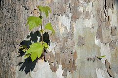 Base of a Sycamore tree along a walking path in the heart of Laguna Woods, California. Image shows the base of a Sycamore tree with a new growth of a side stock photo