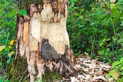 The base of tree being chewed by a beaver royalty free stock image