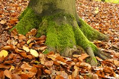 Base of tree with moss and Autumn leaves Royalty Free Stock Images