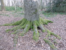 Base of tree with multiple large roots. Royalty Free Stock Photos