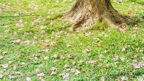 Base tree with tabebuia fall on grass. Royalty Free Stock Photos