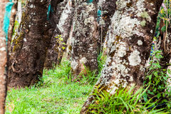 Base of trees and green grass. Old base of trees and green grass in light of nature in day at forest Stock Image