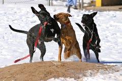 baseballa psów śródpolny bawić się Obraz Royalty Free
