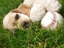 baseballcockerspanielspaniel Royaltyfri Bild