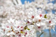 Basel körsbärsröd blomning, oavkortad blom för körsbärsrött träd royaltyfria foton