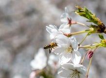 Basel oavkortad blom för körsbärsrött träd med ett flygbi arkivbilder