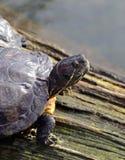 Basel - zoo, Schildkröte/sköldpadda Fotografering för Bildbyråer