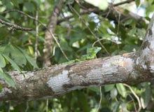 Baselisk lizzard on a branch stock photo