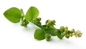Basella alba or malabar spinach Royalty Free Stock Image