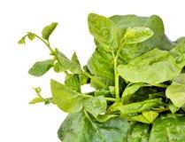 Basella alba or Malabar spinach Stock Photo