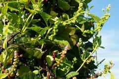 Basella rubra. Ceylon Spinach plant on the farm Stock Photos