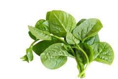 Basella Spinach stock photography