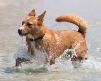Basenji十字架凯尔派在水中 免版税图库摄影