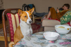 Basenji在桌耐心地等待大师侍者将安置真实的似犬食物 免版税图库摄影