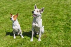 Basenji狗和它的更加年轻的朋友混合了查寻品种的狗殷勤地 库存图片