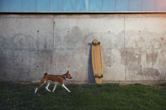 Basenji狗和longboard 图库摄影