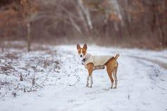 Basenji狗在公园走 冬天寒冷天 免版税库存照片