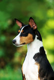 Basenji狗外面在绿草 库存照片