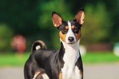Basenji狗外面在绿草 免版税库存图片