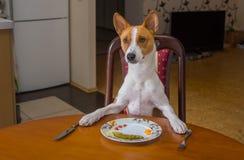 Basenji等待大师侍者将提供午餐的下条路线 免版税库存图片