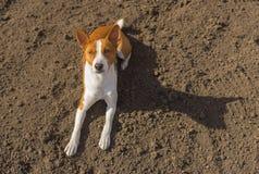 Basenji通过说谎温暖自己在黑土壤在第一春天太阳下 免版税图库摄影