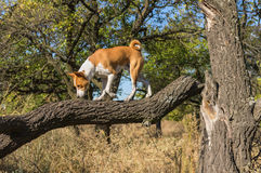 Basenji гуляя на сломленной ветви дерева в поисках еды на солнечном дне стоковое фото
