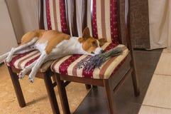 Basenji лежа на стуле рядом с пуком сухого цветка лаванды стоковое изображение rf