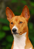 The Basenji Stock Photo