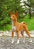 The Basenji Stock Images